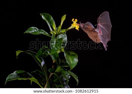 Orange Nectar Bat - Lonchophylla robusta, new world leaf-nosed bat feeding nectar on the flower in night, Central America forests, Costa Rica.