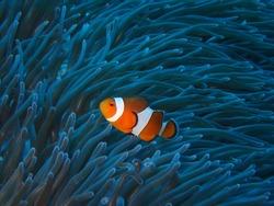 Orange nemo clown fish in the beautiful vivid green anemone. Pair of nemo clown fish living on the tropical reef. Bright orange fish, vivid blue background.