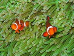 Orange nemo clown fish in the beautiful vivid green anemone. Pair of nemo clown fish living on the tropical reef. Bright orange fish, vivid green background.