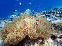 Orange nemo clownfish in the sea anemone, Thailand