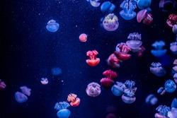 orange nettle jellyfish with blue background