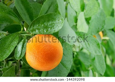 Orange on a citrus tree close up.