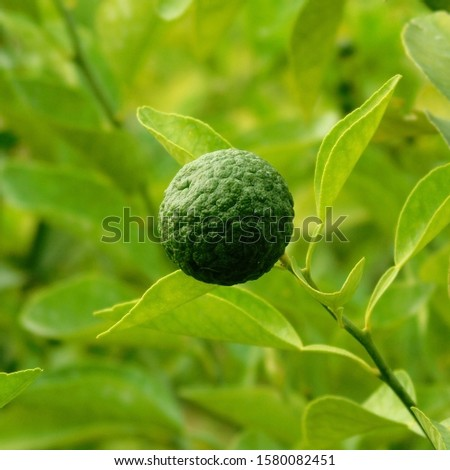 orange or citrus fruits and green leaves, photos of natural fruits, fruits with sweet and sour taste.