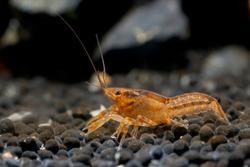 Orange or yellow crayfish dwarf shrimp crawl and look for food in aquatic soil with rock as background in freshwater aquarium tank.