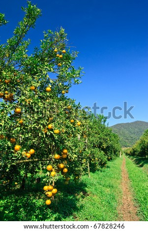 Orange orchard in northern Thailand
