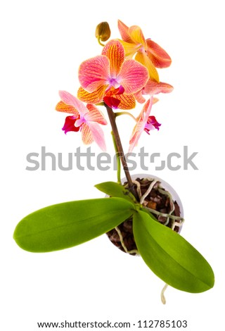 orange orchid in a pot isolated on white background