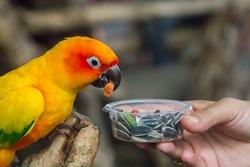 Orange parrot eating
