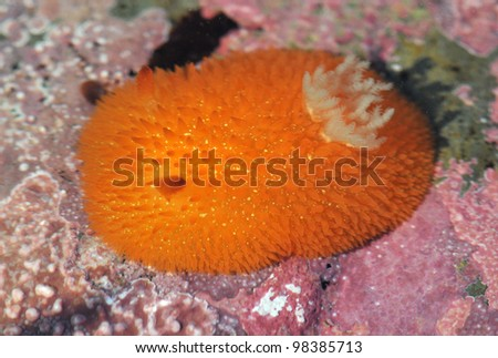 Orange Peel Sea Slug
