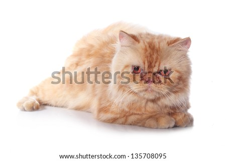 orange persian cat species, isolated on white background