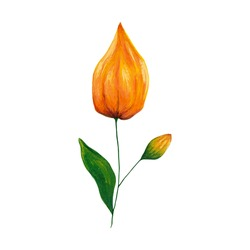 Orange physalis clip art isolated on white background. Acrylic hand drawn flower illustration for card, invitation, banner, poster, decoration.