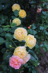 Orange, pink and apricot blend Modern Shrub Rose Andre Turcat and Yellow colour Modern Shrub Chateau de Cheverny flower in a garden in July 2020