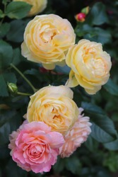 Orange,pink and apricot blend Modern Shrub Rose Andre Turcat and Yellow colour Modern Shrub Chateau de Cheverny flower in a garden in July 2020