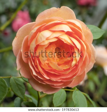 "Orange, pink and peach flower of the Lady of Shalott David Austin rose - Rosa ""Lady of Shalott' (Ausnyson) -in the garden #197830613"