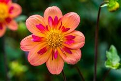 Orange Pink Collarette Dahlia Blooming Macro.