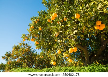 Orange plantation with trees ready to be harvested