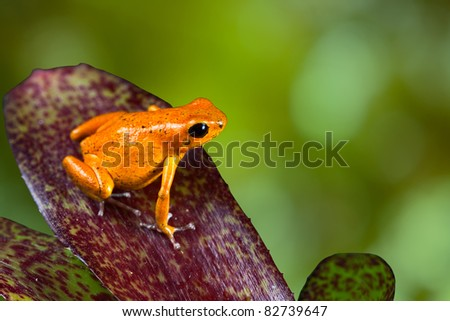 orange poison dart frog sitting on leaf with copy space. Exotic rainforest animal with bright vivid colors. dartfrog  in tropical rain forest. strawberry frog. beautiful amphibian of jungle in Panama