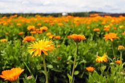 Orange pot marigold. Calendula officinalis field, nature