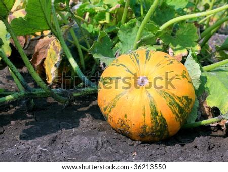 Orange pumpkin on vegetable garden