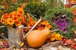 orange pumpkin, watering can with chrysanthemums and decorative cabbage in a garden in autumn