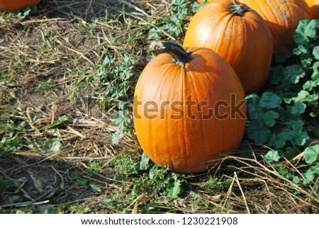 Orange pumpkins at outdoor farmer market. Pumpkin patch. Halloween. Fall. #1230221908