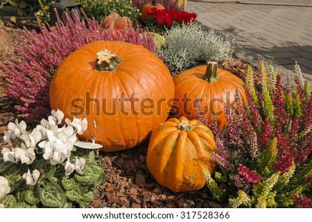 Orange pumpkins. Decoration. #317528366