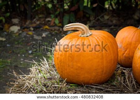 Orange pumpkins for Halloween Party #480832408