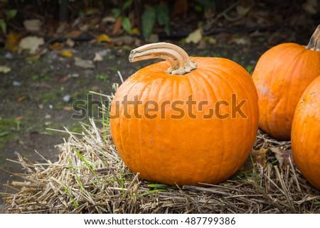 Orange pumpkins for Halloween Party #487799386