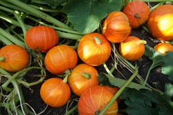 Orange pumpkins on the ground. Harvesting. Food. Agriculture, gardening, agronomy. Green consumption concept. Conservation of nature, ecology. Caring, love for plants.