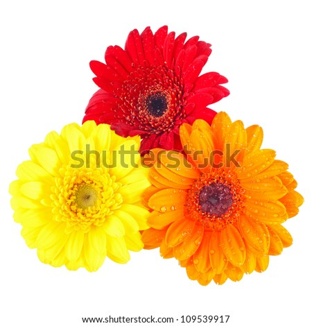 orange red and yellow gerbera daisy covered with dew drops on