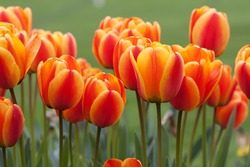orange-red tulips in the spring garden