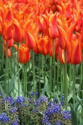 Orange Red Tulips with Muscari in Istanbul, Turkey