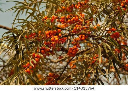orange ripe sea-buckthorn berries