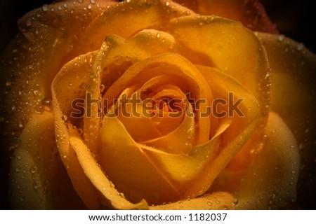 volim narančasto Stock-photo-orange-rose-1182037