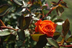 Orange Rose 'Amber Meillandina' in full bloom
