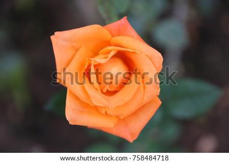 orange rose blur background #758484718