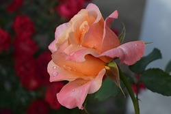 orange rose flower in roses garden. Soft focus. Lolita is a hybrid tea rose. Germany