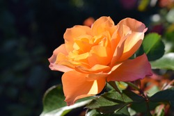 Orange rose flower. The name of the rose is