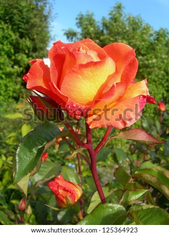 Orange rose in a garden with green leafy background.