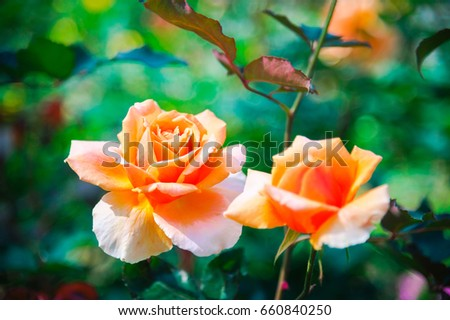 Stock Photo Orange rose in garden., Orange roses in the front garden for Valentine's Day. Orange roses to use as a background image.