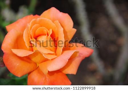 Orange rose in the garden #1122899918
