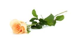Orange rose isolated on a white