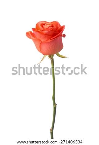 Stock Photo Orange rose isolated on white background.