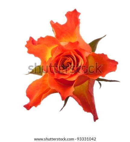 Orange rose  isolated on white background cutout