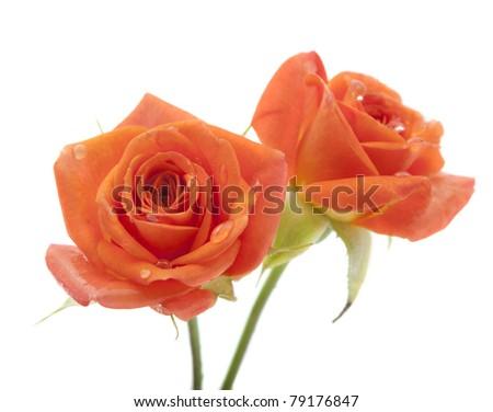 Orange rose on white background