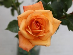 Orange rose open with petals