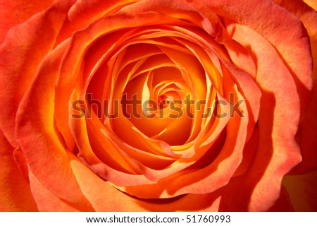 Orange rose top view closeup macro background