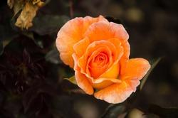 Orange rose with growing leaves