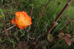 Orange rose with stems with thorns