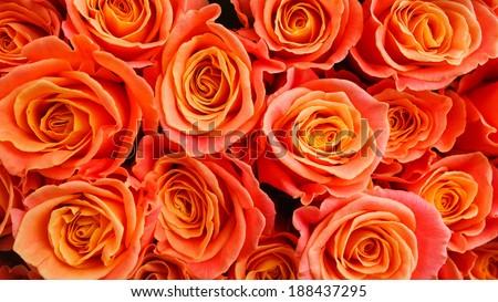 Stock Photo Orange Roses
