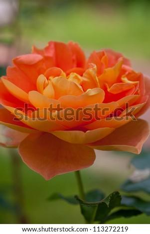orange roses in garden